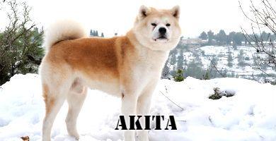 Raza de perro Akita en la nieve de pie, color marron y blanco