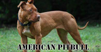 Raza de perro american pitbull de pie en el cesped