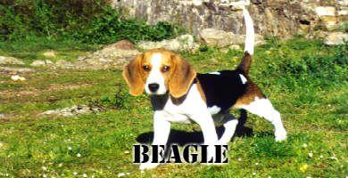 Raza de perro pequeña Beagle, marrón,blanco y negro