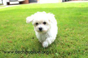 Raza de perro toy bichón maltés, de color blanco corriendo en el césped