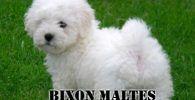 Raza de perro toy, Bichón Maltés de color blanco