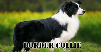 Raza de perro Border Collie de pie blanco y negro