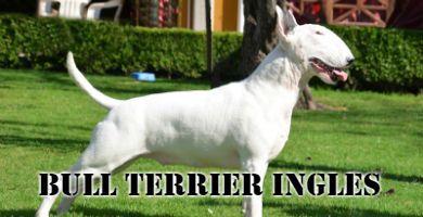 Raza de perro Bull Terrier Inglés de color blanco de pie en el césped