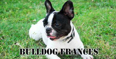 Razas de perro Bulldog Frances blanco y negro en el cesped