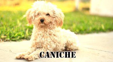 Raza de perro pequeña Caniche estirado en el suelo