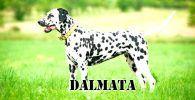 Raza de perro Dalmata de pie, con collar amarillo