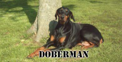 Raza de perro Doberman negro sentado en el cesped junto a un arbol