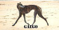 Raza de perro Galgo caminando por la playa de color marrón oscuro