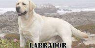 Raza de perro grande Labrador de color blanco en las montañas