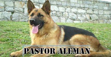 raza de perro grande, Pastor Alemán sentado en el césped