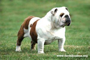 Perro de raza Bulldog inglés de color marrón y blanco de pie