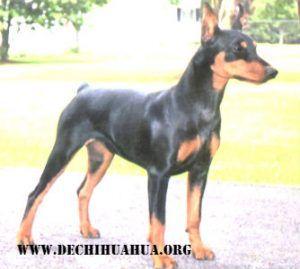Raza de perro pinscher de color negro marrón