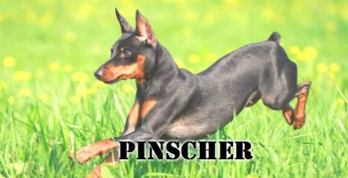 Raza de perro pequeña pinscher miniatura mini