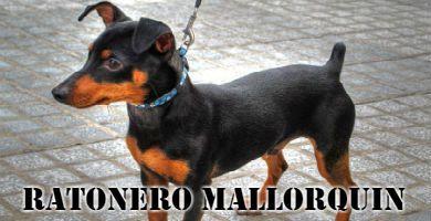 Raza de perro Ratonero mallorquín de color negro