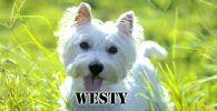 Raza de perro Westy blanco en el cesped