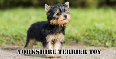 Raza de perro Yorkshire Terrier Toy