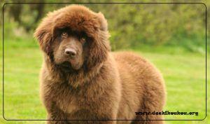 Terranova raza de perro gigante