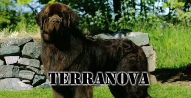Raza de perro Terranova gigante
