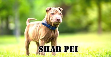 Raza de perro Shar Pei, perro mediano