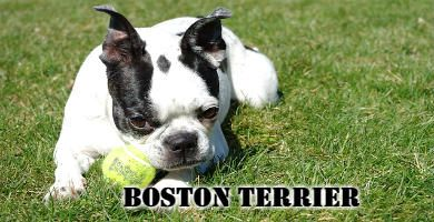 El perro Boston Terrier estirado en el césped