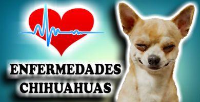 Enfermedades de Chihuahuas y otros perros