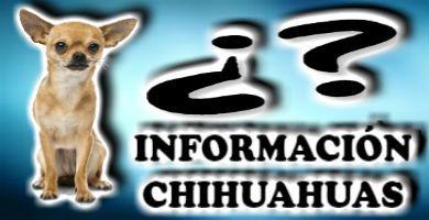 La información más completa y detallada de los Chihuahuas