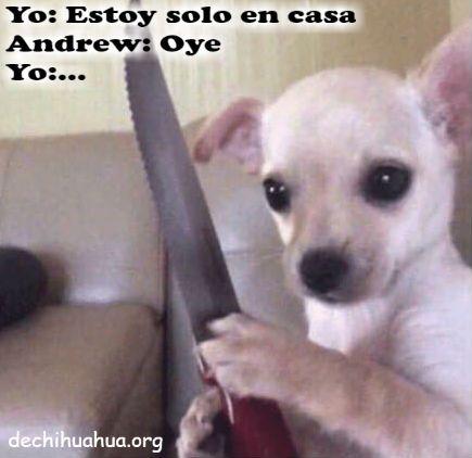 Chihuahua solo en casa