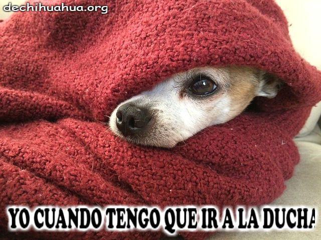 Cuando Chihuahua tiene que ir a la ducha...