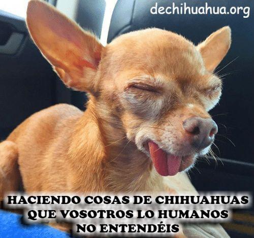 Haciendo cosas de Chihuahuas