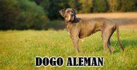 La raza giganta Dogo Aleman