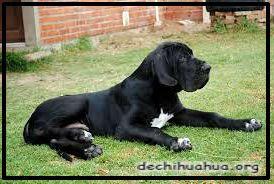 El perro Dogo Alemán sentado de color negro es de los más grandes del mundo.