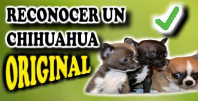 Cómo Saber Si Es Un Chihuahua Puro U Original Guía 2020