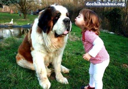 El perro San Bernardo es un amante de los niños pequeños