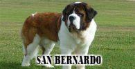 perro San Bernardo es tranquilo y familiar