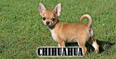 El perro Chihuahua es de raza pequeña o toy