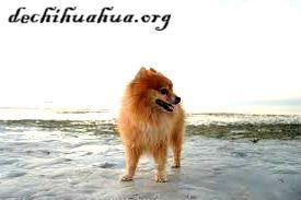 Perro Pomerania con elegancia