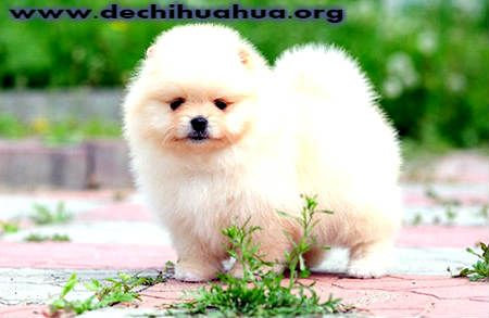 Perro Pomerania blanco cepillado diario