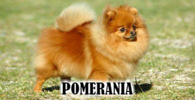 Raza de perro Pomerania toy color marrón