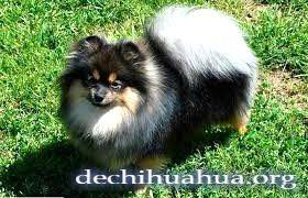 Perro Pomerania de color negro