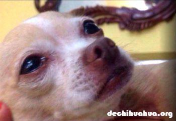 por qué mi perro Chihuahua llora puede ser un quebradero de cabeza