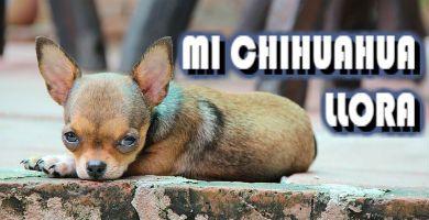 Saber por qué mi perro Chihuahua llora puede ser un dolor de cabeza