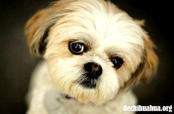 Un Shih Tzu de cachorro