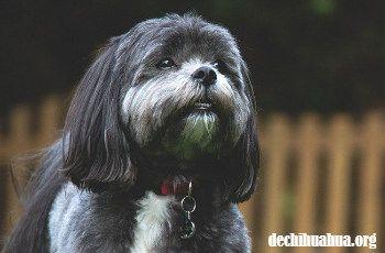 Un perro Shih Tzu negro