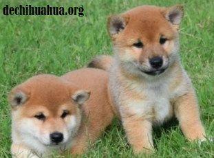 El perro Shiba Inu es el más robusto y pequeñod e Japón
