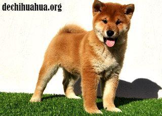 Al perro Shiba Inu hay que tener cuidado con sus baños, pueden dañar la piel.