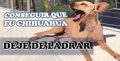 Cómo conseguir que tu Chihuahua no ladre más