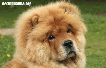 Cabeza del Chow Chow con un pelo brillante y resistente