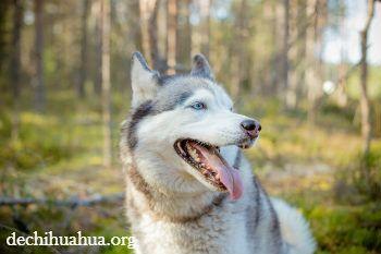 El perro Husky Siberiano tiene ciertas características a los lobos.