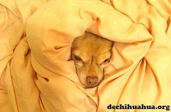 Chihuahua durmiendo en una cama, envuelto con sábanas