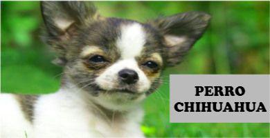 Todo sobre el Perro Chihuahua